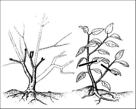 Как сформировать крону дерева в домашних условиях 828