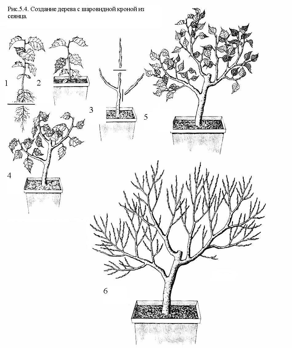 Как сформировать крону дерева в домашних условиях 336
